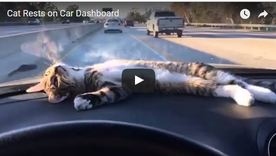 Cat chilling on Dashboard